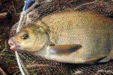 1 kg esche per pesci karpfen-brassen OCCHI ROSSI ANGEL FOOD BREMES CARP (1,99 €/