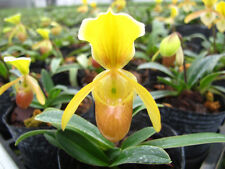 2 growths(a plant) Paphiopedilum helenae BLOOM SIZE