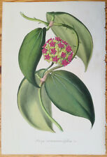 van Houtte Garden Flowers Hoya cinnamomifolia from Java 1847 (NS)