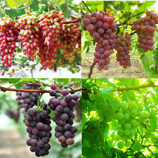 50 Mixed Grape Seeds Vitis Vinifera Delicious Fruit Plant Seed Home Garden Decor