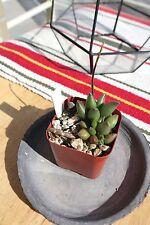 Adromischus Marianae Tanqua RARE flowering Succulent Plant