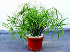 50 Seeds Cyperus Alternifolius Bonsai Plant Tree House Herb Garden Flower Decor