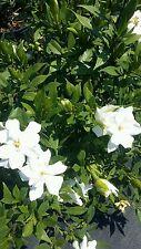 Frost Proof Dwarf Gardenia Plant Live Bush Fragrant White Bloom Flower