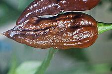10 semi peperoncino NAGA Chocolate/Jolokia #623