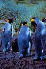 541027 roi pingouin A4 papier photo