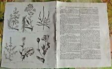 1784 Ancienne Gravure Estampes EO.le Colsa colza l'Oliette la Gaude le Pastel