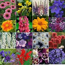 12 HARDY PERENNIAL/BIENNIAL MEDIUM PLUG PLANTS - READY TO POT UP/PLANT OUT