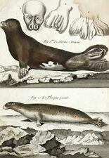Histoire Naturelle Panckoucke Moine-marin Phoque puant  - Gravure originale 18e