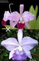 FRAGRANT! ~ Cattleya Orchid ~ Lc. (Featherrae x warneri)