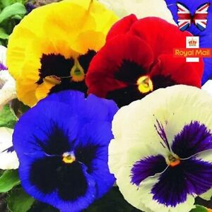 PANSY 50 SEEDS SWISS GIANT MIX