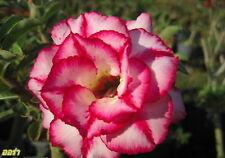 "ADENIUM OBESUM DESERT ROSE ""AURA"" 2 GRAFTED PLANTS FRESH"