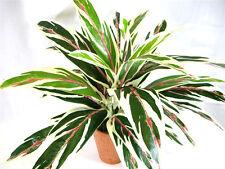 Potted Artificial Silk Dracaena Bush Plant ~ foliage