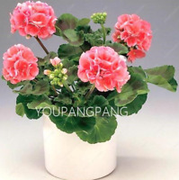100 PCS Seeds Rare Geranium Plants Bonsai Flowers Pelargonium Perennial Garden N