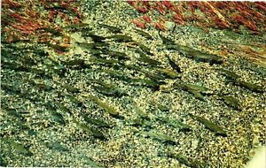 Vintage Postcard - Rainbow Trout Photographed In Snake River Idaho  #6090