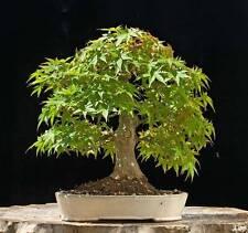 5 Japanese Maple seeds (acer palmatum) Tree Seeds qui peut être utilisé pour BONSAI.
