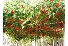 Tomato Giant Tree 35 seeds vegetable garden Italian HEIRLOOM NON GMO