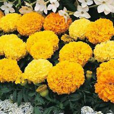 100 African Marigold Tagetes Erecta Flowers Seeds Mix Organic Beautiful Garden