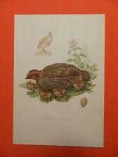Reclamos (Perdix perdix) impresión en color 1953 ornitología