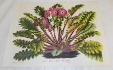 c1845 Antique COLOR Floral Print///RED-FLOWERED FILICIFOLIA, by van Houtte