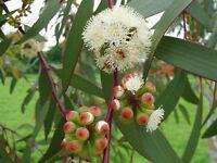 1000 Samen Eucalyptus pauciflora Saatgut Schnee-Eukalyptus WINTERHART BIS -20°C
