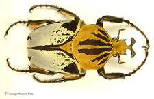 Goliathus cacicus hieroglyphicus - male, beauiful and rare 76mm, A-