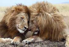 BEAUTIFUL  WILD LION BROTHERS * LARGE A3 SiZE QUALITY CANVAS ART PRINT *