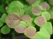 Cercidiphyllum japonicum Japanese Katsura Tree Seeds!