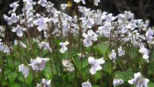Viola hederacea - 5 seeds