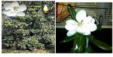 Southern Magnolia Tree Sweet Smelling Huge White Blooms 15 + Seeds Usa Seller