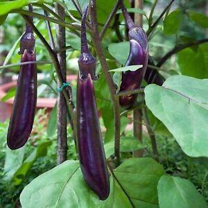 20 Aubergine LONG PURPLE Seeds – Bangladeshi Ingredient – Free Postage