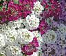 ALYSSUM PALETTA MIX Lobularia Maritima - 1,000 Bulk Seeds