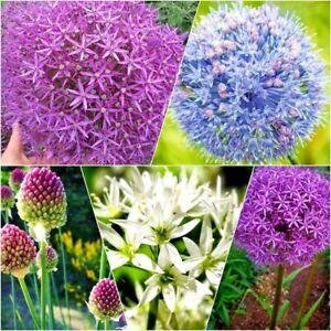 Allium Bulbs / Caerulium (azureum) Drumstick Purple Sensation Globemaster Garlic