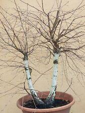 Bonsai Birke betula pendula Yamadori Doppelstamm