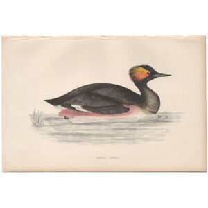 Morris Birds antique 1863 hand-colored engraving print Pl 302 Eared Grebe