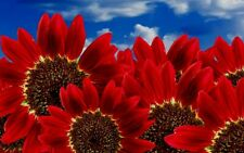 Red Sunflower Seeds, Red Sun, Heirloom Flower Seeds, Many Branches & Blooms 50ct