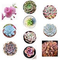 600Pcs Mixed Succulent Seeds Lithops Rare Living Stones Bonsai Garden Plant Sanw