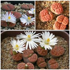 10 semi di Lithops karasmontana tischeri C182 , sassi viventi, living stones