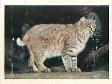 OLD CARD IMAGE : Lynx roux Lynx rufus Chat sauvage Bobcat