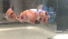 """New listing Live Betta Fish - Koi nemo female Hmpk (big almost 2"""") #2"""