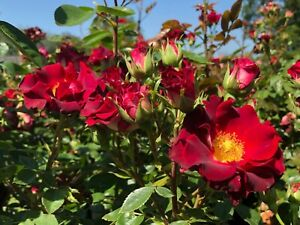 Bloom marvellous   Climbing Rose   7ltr Potted Rose Plant   RED