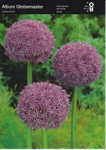 Nr. 253- Zierlauch 'Allium Globemaster', sehr große Zwiebeln 24+, 3 Stück