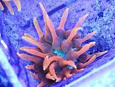 Wysiwyg Colorado Sunburst Anemone - Sang Lee Lineage Csb Live Coral
