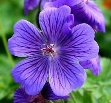 3 x Geranium Magnificum Blue Perennial 50mm Flower ( All Summer) Root 150mm
