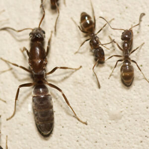 Linepithema Humile Ant Queen Ant Ants Colony Starter Feeder FREE Workers