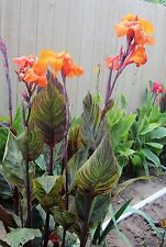 CANNA LILY ORANGE FLOWERS/VARIEGATED FOLIAGE, WEEKEND SPECIAL (2) BULBs