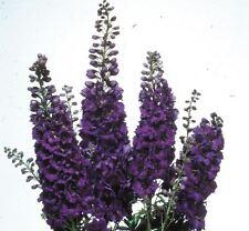 Flower - Delphinium - Magic Fountains - Dark Blue Dark Bee - 25 Seeds
