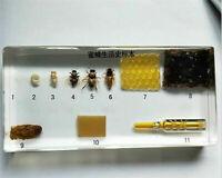 Echt Insekt Probe Briefbeschwerer Honig Bienen Leben Geschichte Präparation