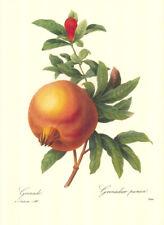 "4 Vintage Redoute Botanical Fruit Prints (10"" x 13"") Lot 4254"
