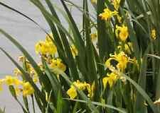 10 Petits plants IRIS DES MARAIS 10 CM  JAUNE  BASSIN FILTRATION