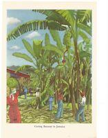 CUTTING BANANAS IN JAMAICA /  VINTAGE PRINT / PLANTATION